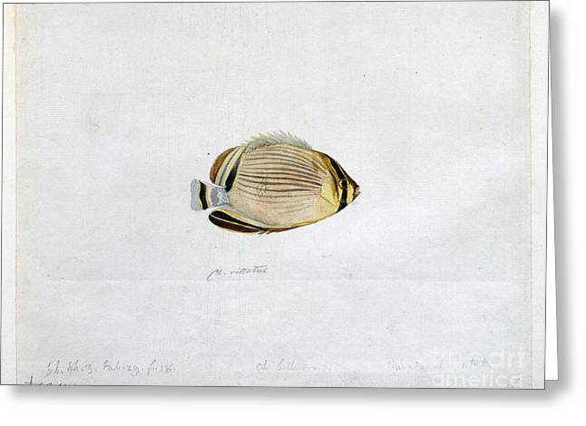 Artwork Of Butterfly Greeting Cards - Redfin Butterflyfish, 18th Century Greeting Card by Natural History Museum, London