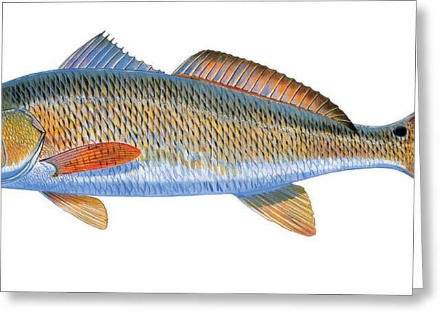 Shallows Greeting Cards - Redfish Greeting Card by Carey Chen