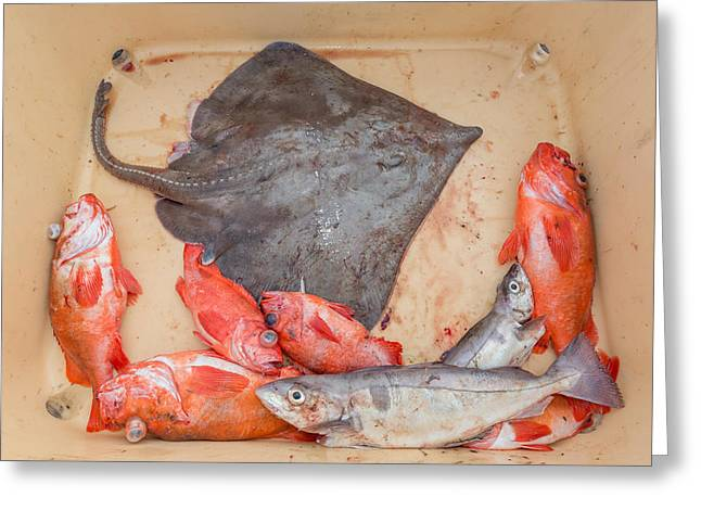 Redfish Greeting Cards - Redfish, Skate And Trout Freshly Greeting Card by Panoramic Images