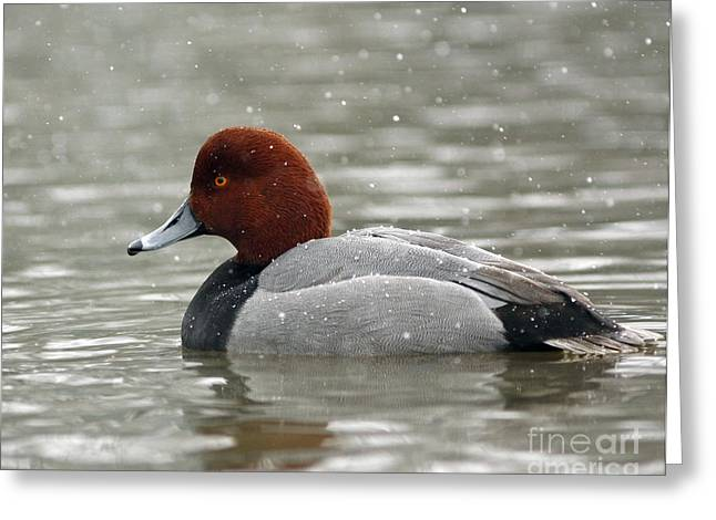 Redhead Duck In A Winter Snow Storm Greeting Card by Inspired Nature Photography Fine Art Photography