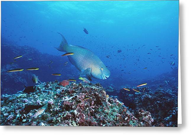 Photos Of Coral Greeting Cards - Redlip Parrotfish And Coral Roca Greeting Card by Tui De Roy