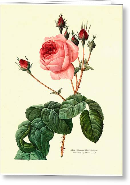 Lithography Greeting Cards - Redoute Rose Greeting Card by Gary Grayson