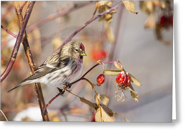 Roost Greeting Cards - Redpoll in the Rose Bush Greeting Card by Tim Grams