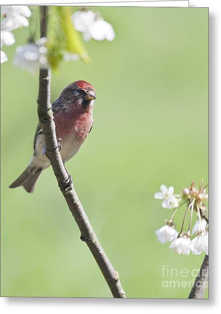 Redpoll With Plum Blossom Greeting Card by Liz Leyden