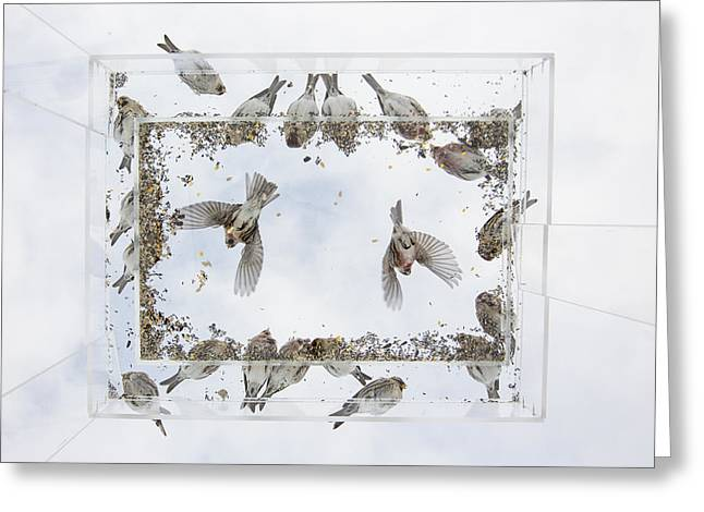 Photos Of Birds Greeting Cards - Redpols Departing a Feeder Greeting Card by Tim Grams
