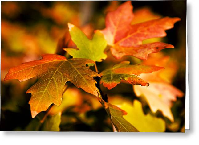 Red Leaves Greeting Cards - Reds Greeting Card by Chad Dutson
