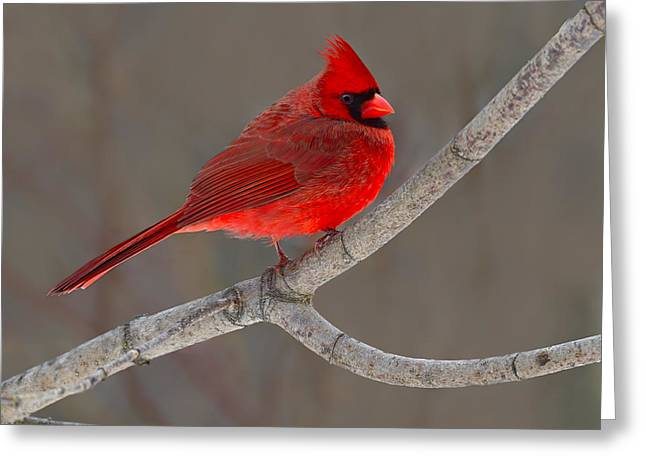 Cardinalis Greeting Cards - Reds Greeting Card by Tony Beck