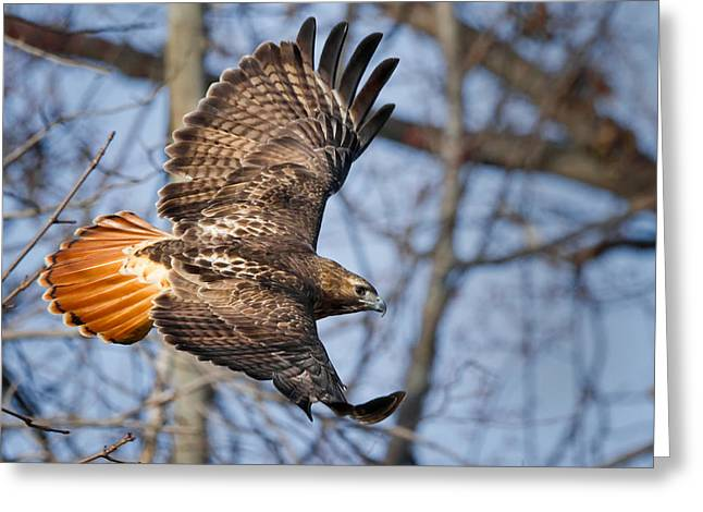 Bird In Flight Greeting Cards - Redtail Hawk Greeting Card by Bill  Wakeley