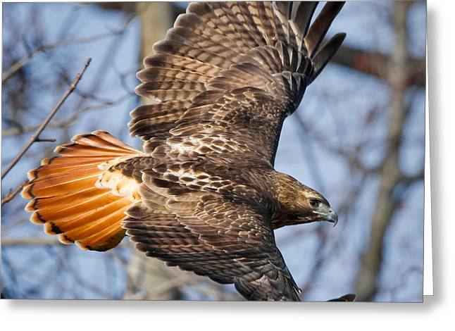 Redtail Hawk Square Greeting Card by Bill Wakeley