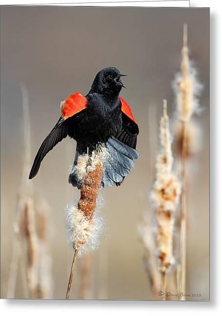 Display Pyrography Greeting Cards - Redwing Blackbird displaying Greeting Card by Daniel Behm