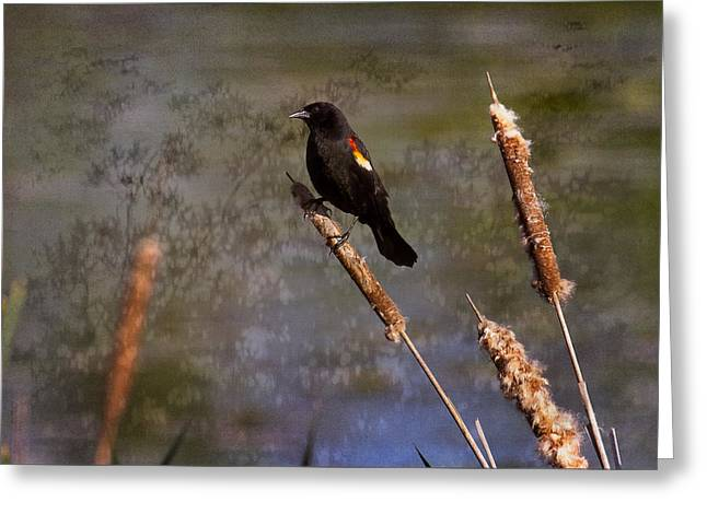 Michelsoucy Photographs Greeting Cards - Redwing Blackbird Greeting Card by Michel Soucy