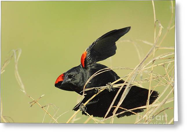 Frederick Greeting Cards - Redwing In Grass Greeting Card by Robert Frederick