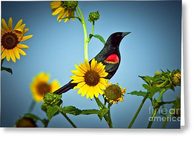 Frederick Greeting Cards - Redwing In Sunflowers Greeting Card by Robert Frederick