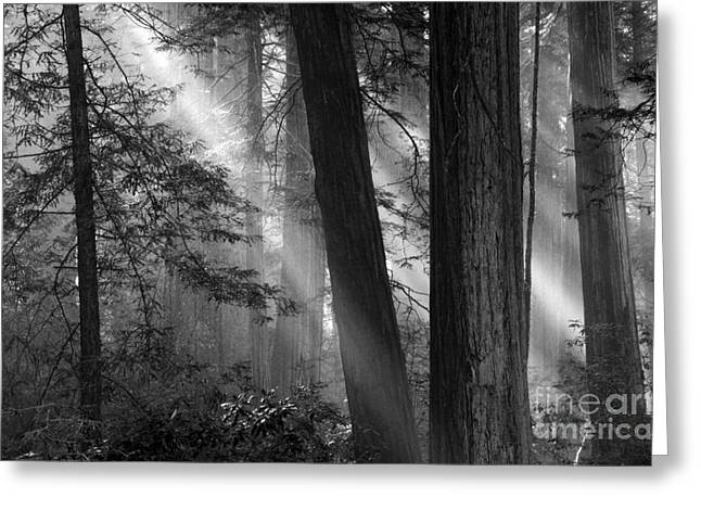 Canadian Photographer Greeting Cards - Redwood Light Greeting Card by Bob Christopher