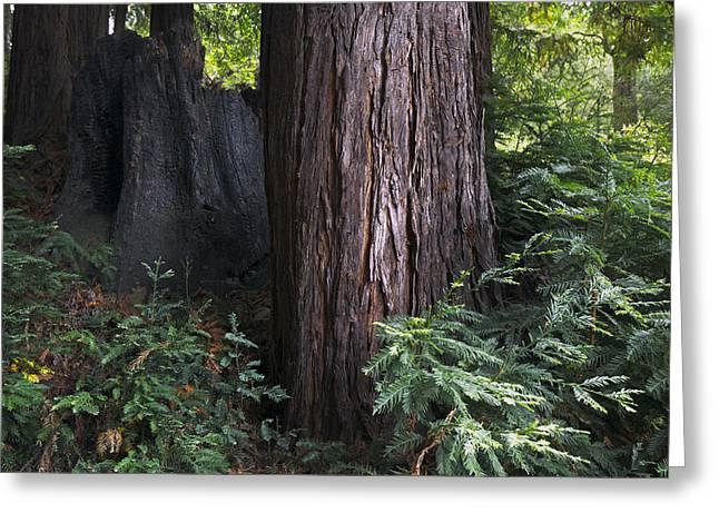 Born Again Photographs Greeting Cards - Redwood Renewal Greeting Card by Sean Lanyi
