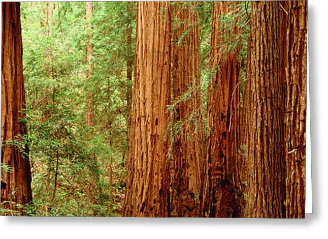 Old Growth Greeting Cards - Redwoods Muir Woods Ca Usa Greeting Card by Panoramic Images