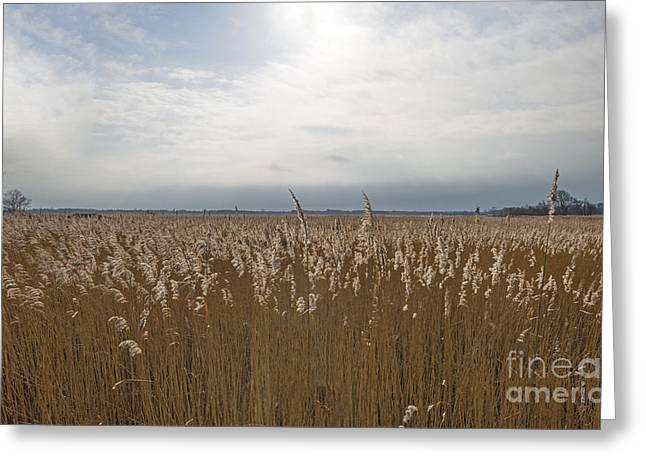 Reed Bed Greeting Cards - Reed bed with seed heads in winter Greeting Card by Jan Marijs