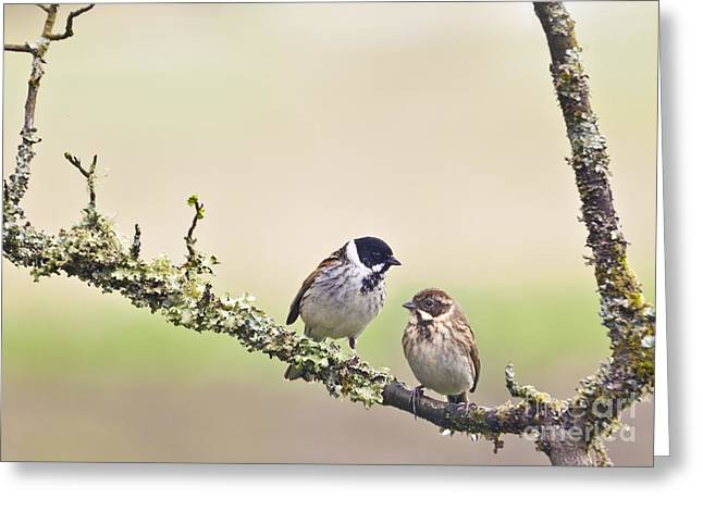 Birds Greeting Cards - Reed Bunting pair Greeting Card by Liz Leyden