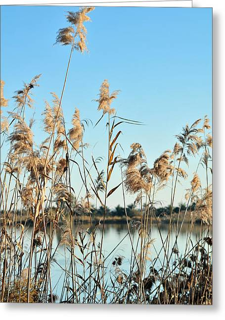 Tetyana Kokhanets Greeting Cards - Reed Grasses By A Lagoon  Greeting Card by Tetyana Kokhanets