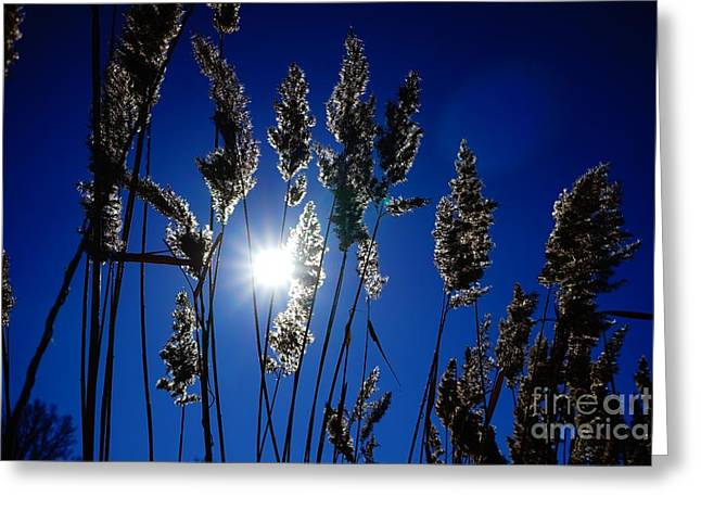 Jan Wolf Greeting Cards - Reed Greeting Card by Jan Wolf