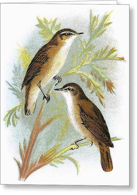 Warblers Greeting Cards - Reed Warbler Bottom And Sedge Warbler Top Greeting Card by English School