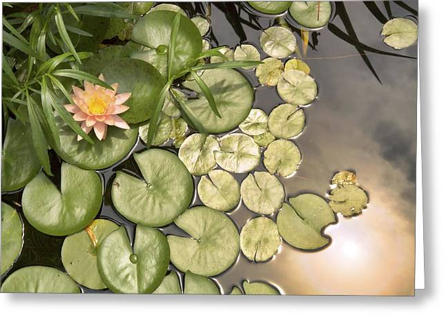 Lilly Pad Greeting Cards - Reflected Light upon Flowering Water Lilies Greeting Card by Jason Politte