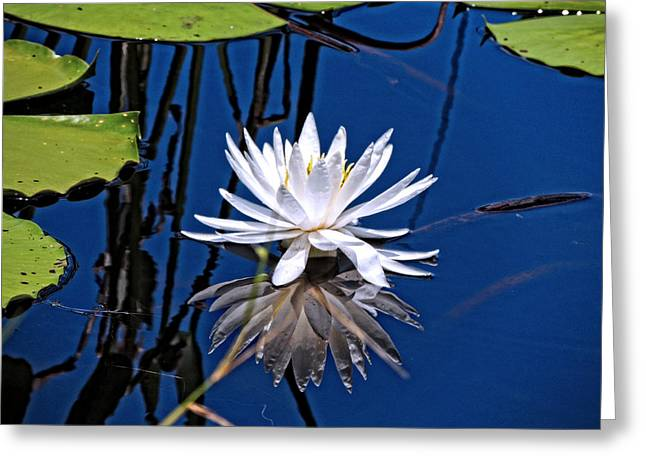 Aquatic Greeting Cards - Reflecting Greeting Card by Marilyn Holkham