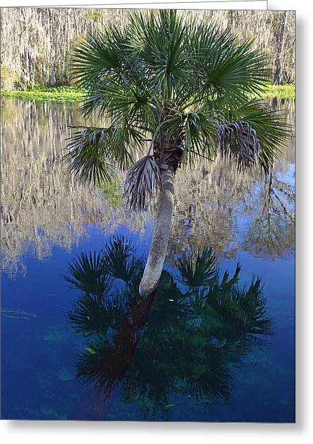 Bruce Photos Greeting Cards - Reflecting Palm Tree Silver Springs Greeting Card by Bruce Gourley