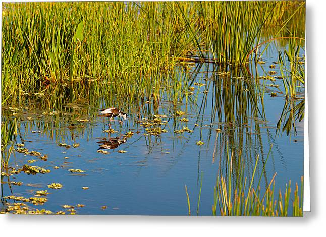 Florida Wildlife Photography Greeting Cards - Reflection Of A Bird On Water, Boynton Greeting Card by Panoramic Images