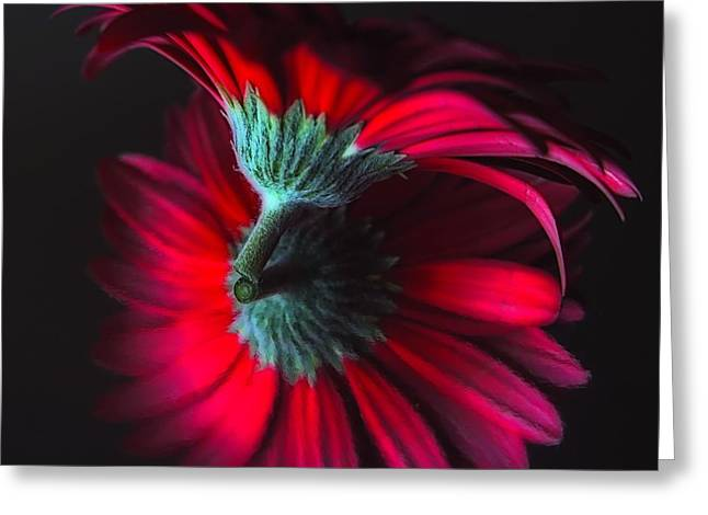 Photorealism Greeting Cards - Reflection of the Gerbera Greeting Card by Jenny Hudson