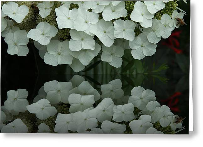 Stamen Digital Art Greeting Cards - Reflection Of White Hydrangea Greeting Card by Christiane Schulze Art And Photography