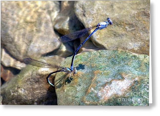 Macro Dragonfly Picture Greeting Cards - Refueling Dragonflies Greeting Card by Peggy  Franz