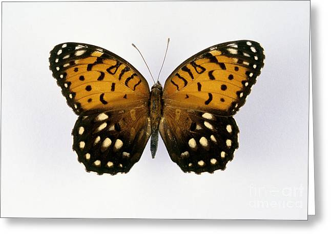 Silhouettable Greeting Cards - Regal Fritillary Butterfly Greeting Card by Barbara Strnadova