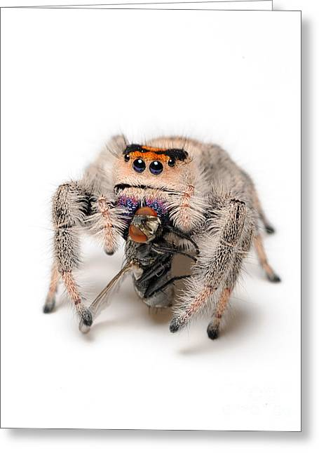 Regal Jumping Spider With Prey Greeting Card by Scott Linstead