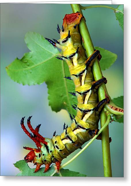Best Sellers -  - Eating Entomology Greeting Cards - Regal Moth Caterpillar Greeting Card by Robert Jensen
