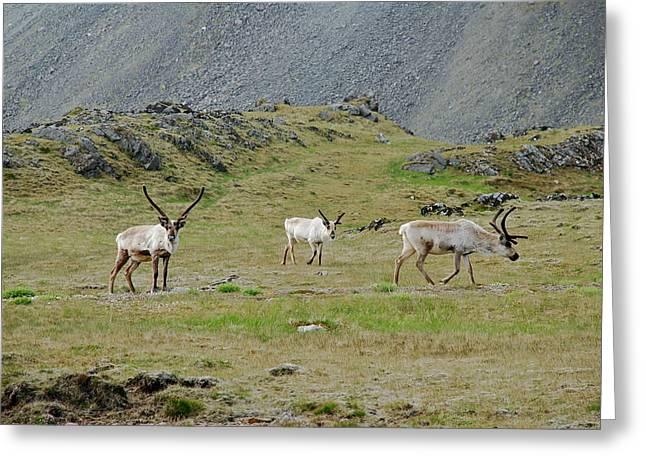 Tauchen Greeting Cards - Reindeer  Greeting Card by Erlendur Gudmundsson
