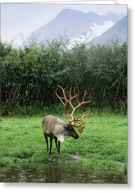 Reindeer Grazing In A Grass Meadow Greeting Card by Angel Wynn