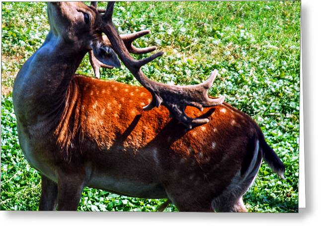 Rudolph Greeting Cards - Reindeer Scratch Greeting Card by Optical Playground By MP Ray