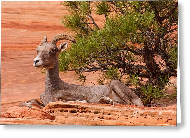 Southwest Wildlife Greeting Cards - Relaxing Ewe  Greeting Card by James Marvin Phelps