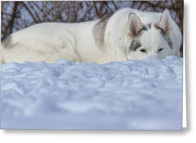 Husky Greeting Cards - Relaxing In the Snow Greeting Card by Jonathan Grim