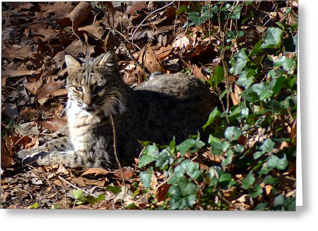 Female Bobcat Greeting Cards - Relaxing Male Bobcat Greeting Card by Eva Thomas