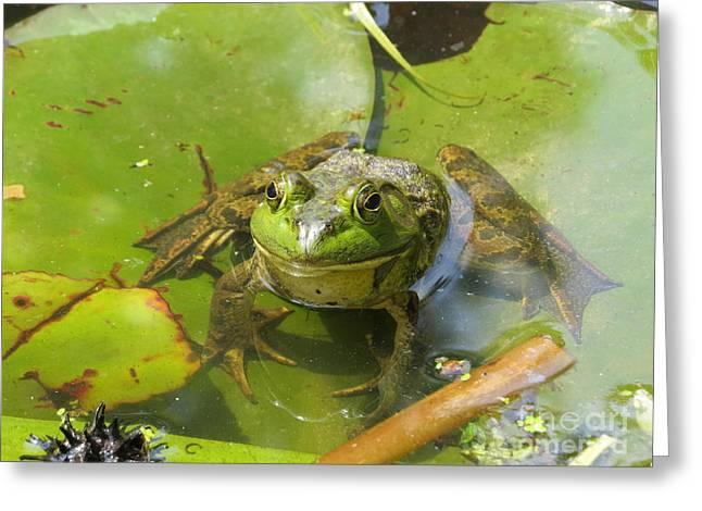 Lilly Pads Greeting Cards - Relaxing on a Lily Pad  Greeting Card by Tom Gari Gallery-Three-Photography