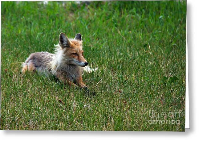 Haybale Greeting Cards - Relaxing Red Fox Greeting Card by Robert Bales