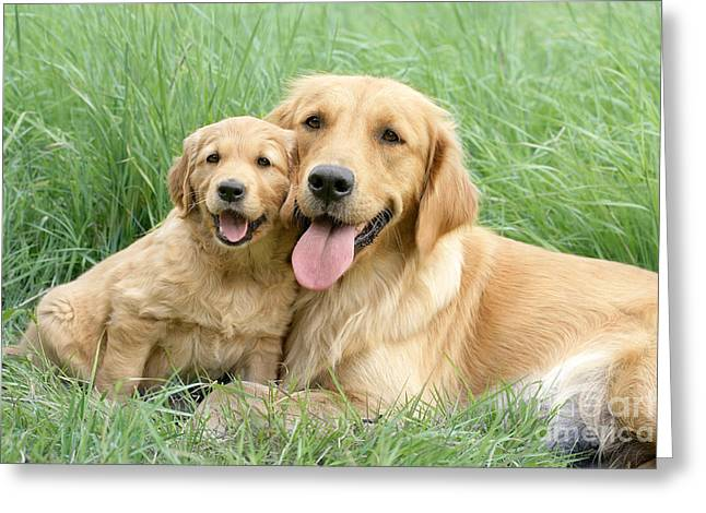 Dog Photo Greeting Cards - Relaxing Retrievers Greeting Card by Greg Cuddiford