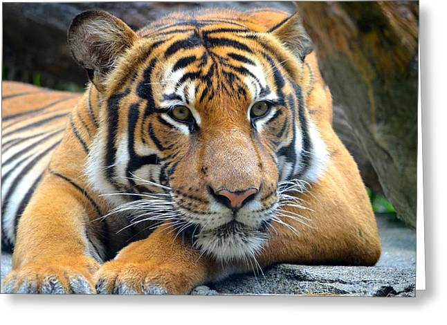 Jacksonville Greeting Cards - Relaxing tiger Greeting Card by Richard Bryce and Family