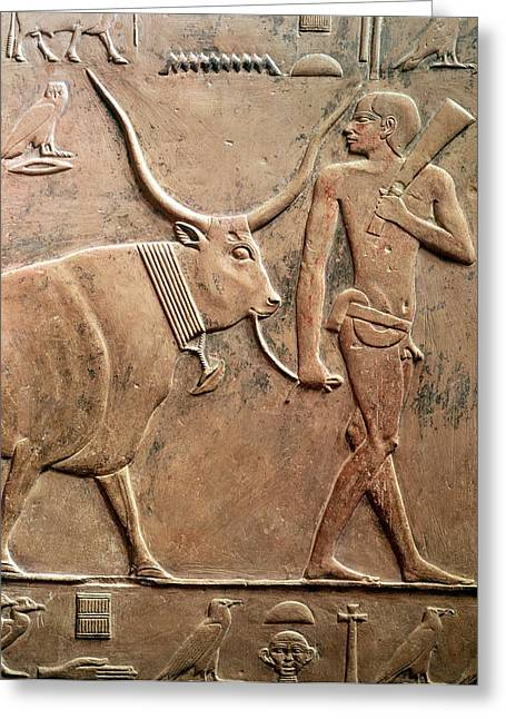 Relief Depicting A Peasant Leading A Cow To Sacrifice, From The Mastab Of Ptah-hotep Greeting Card by Egyptian 5th Dynasty