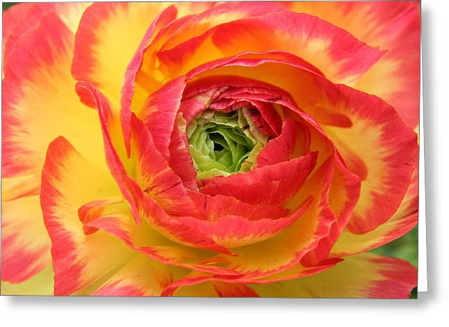 Spring Bulbs Greeting Cards - Remarkable Ranunculus Series 1 No 1 Greeting Card by CJ Anderson
