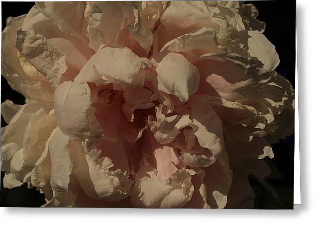 Ladylike Greeting Cards - Rembrandts Peony Greeting Card by Connie Handscomb