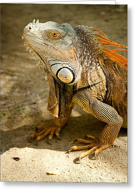 Large Scale Greeting Cards - Iguana Portrait by Zina Zinchik Greeting Card by Zina Zinchik