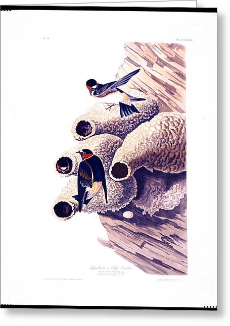 Republican Drawings Greeting Cards - Republican or Cliff Swallow Greeting Card by Celestial Images